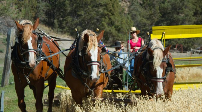Lazy M Ranch – Threshing Bee