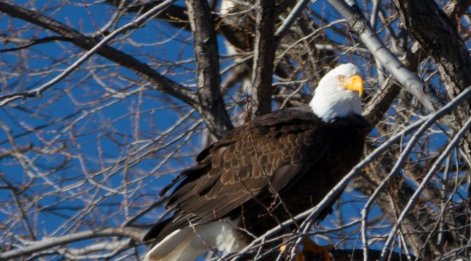 Klamath National Wildlife Refuge – Bald Eagles