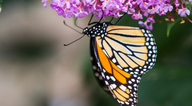 Murder and the Monarch Butterfly – Advocacy, Activism and Death in Mexico by Bill Dahl