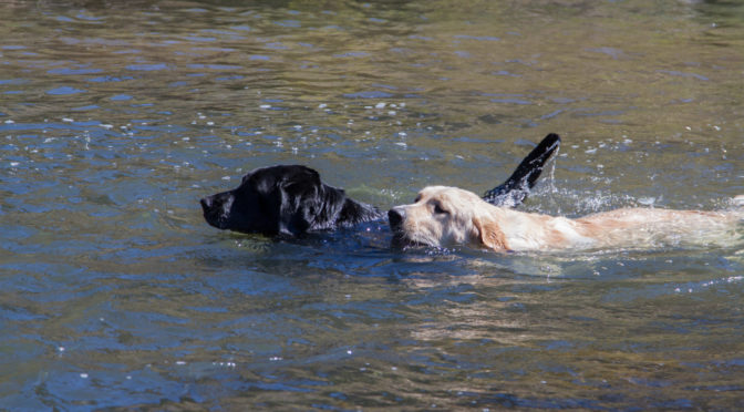 Our Labradors – Reno and Reggie