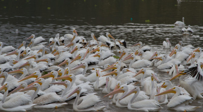 The Pelicans of Lake Chapala by Bill Dahl