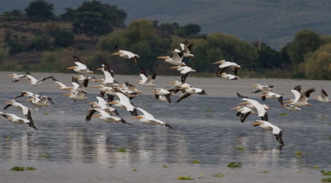 The Pelicans of Petatan Mexico – Lake Chapala – VIDEO