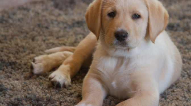 Meet ROCKY – Our NEW Golden Lab Puppy